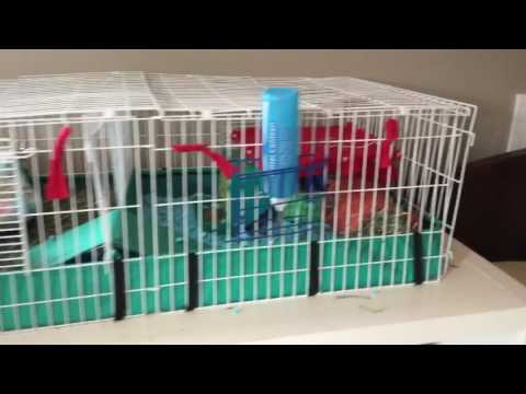 Cage tour 3 guinea pigs July 2017