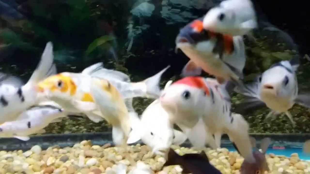 Beautiful baby koi fish youtube for Baby koi fish