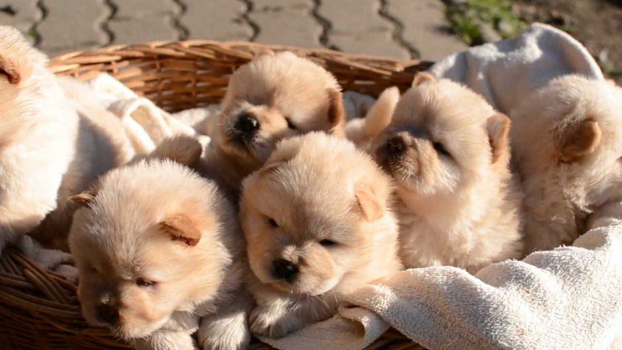 4 weeks old chow-chow puppies - YouTube