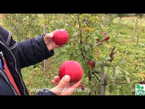 Зимние сорта яблонь, краткое описание, плодоношение в питомнике растений Сад.