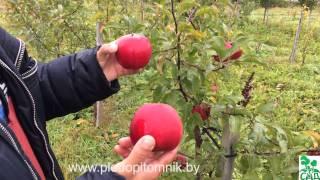 видео Яблоня Болотовское