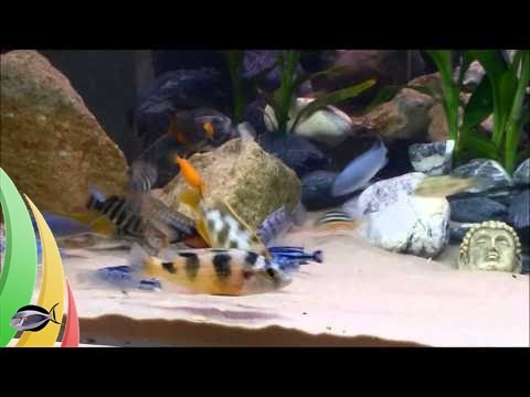 Amazing African Cichlid And Blue Lobster / Crayfish Tank