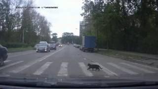 Кот  правильно переходит дорогу!