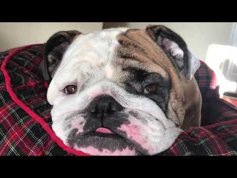 Reuben the Bulldog: Friday Morning