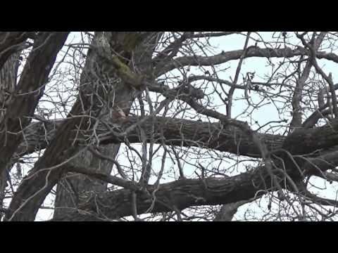 Mountain Cur Squirrel Hunt IA