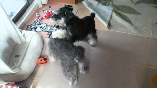 ミニチュアシュナウザー二匹は、よく遊びます。犬同士の遊び、楽しそう.