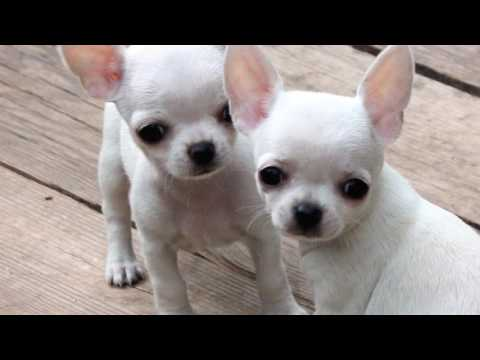 Want to know how to house train a Chihuahua – Part 1