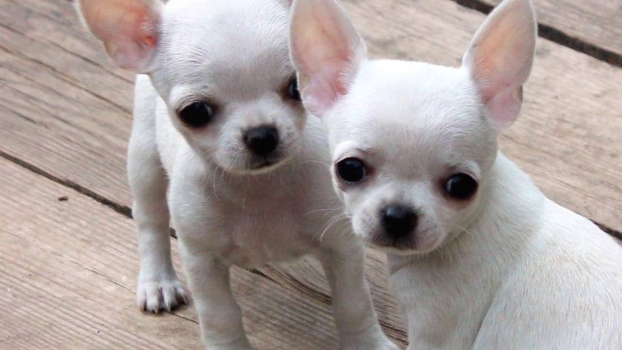 How to teach chihuahua to the toilet: tips