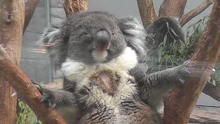 貫禄のおやじコアラです(笑)