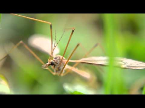 Crane Fly Documentary