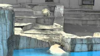 【20秒~必見】可愛いけどちょっとかわいそう…赤ちゃん白クマの悲劇
