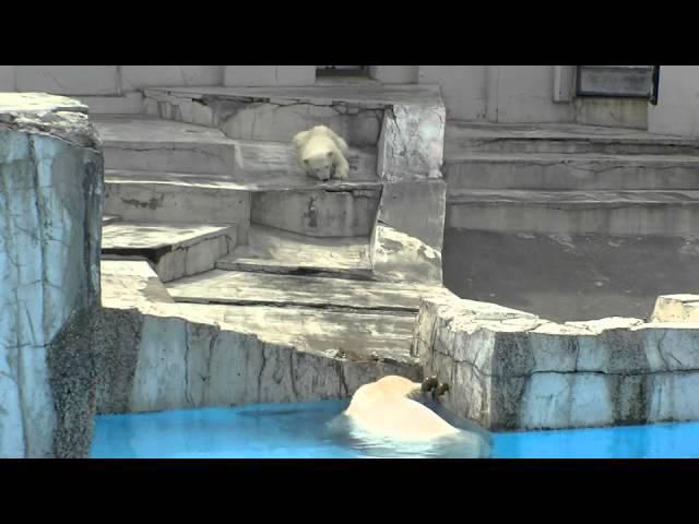 プールに落ちた!Happening!Polar Bear Baby