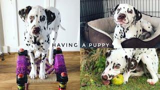 LIFE WITH A DALMATIAN PUPPY | Rita H & Co.