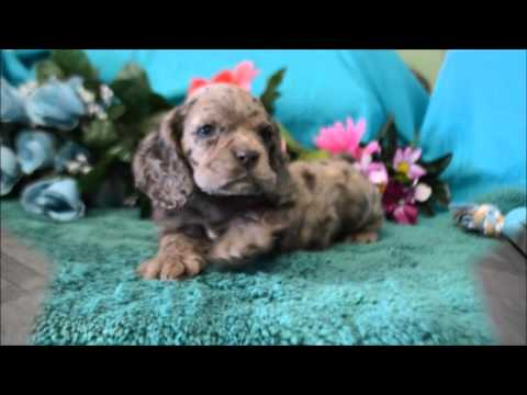 dugan cocker spaniel puppy for cocker spaniel puppies for sale www maryscockerhaven com 699