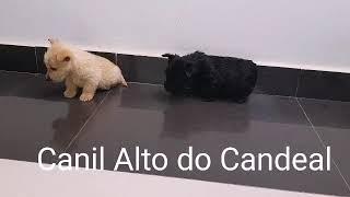 Scottish Terrier  Ninhada Alto do Candeal