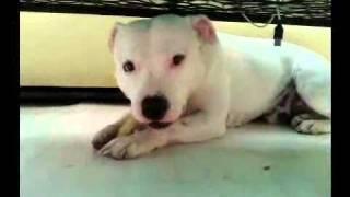 White Staffordshire Bull Terrier, BEYAZ kopek .mp4