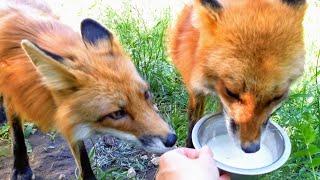 Лиса Василиса и Фокси - Завтрак в нору, пожалуйста