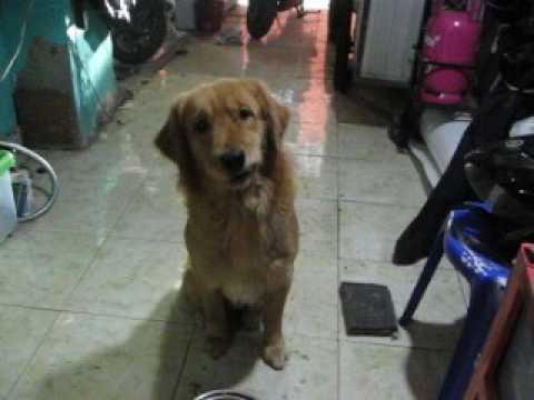 Melatih Anjing Golden Untuk Makan Dan Diam Golden Retriever Trained To Eat And Silent Youtube