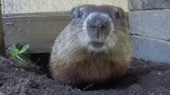 Groundhog under my shed - up close and personal