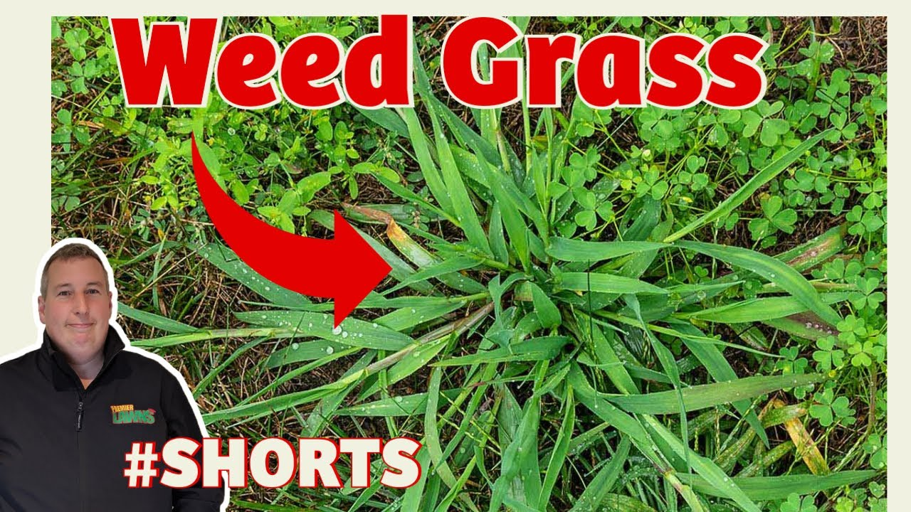 HOW to kill WEED GRASS without killing grass | FAST and EASY THAT WORKS #shorts