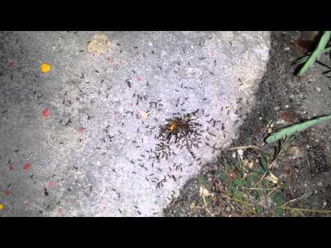 Ant's agains killer bee