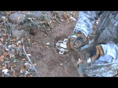 Best Step Over Set Ever For Coyote Trapping And Equipment And Bait Needed
