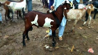 Mandi M Janwar Ki Sale Sale Sale - Bakray For Sale Sahiwal Bakra Mandi New Video