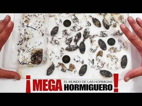 MEGA HORMIGUERO DE 3 REINAS ! ASOMBROSO