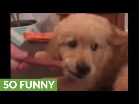 Puppy puts new spin on popular 'Baby Shark' dance song