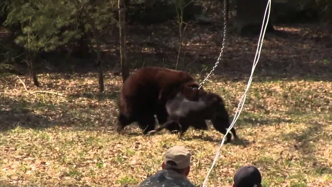 Bear Baiting Youtube