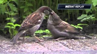 Sparrow Feeding Baby Bird - Musje Voert Ze Jong