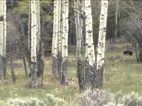 Inside Yellowstone - Bears