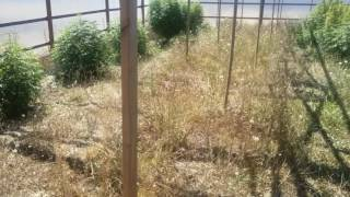 Outdoor marijuana grow Girl Scout cookie August 21st