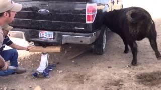 Bovine Tire Inspection