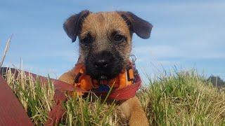 Ferdi the Border Terrier Puppy  4 Weeks Residential Dog Training