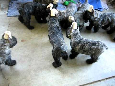 Bouvier des Flandres Babies 8wks old with the Music Ball