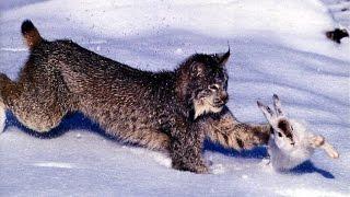 Заяц против рыси: зрелищности этой погони позавидуют голливудские боевики! | Leporo kontraŭas linkon