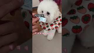만두만두#25 | 심장사상충약 먹는 8개월차 비숑 강아…