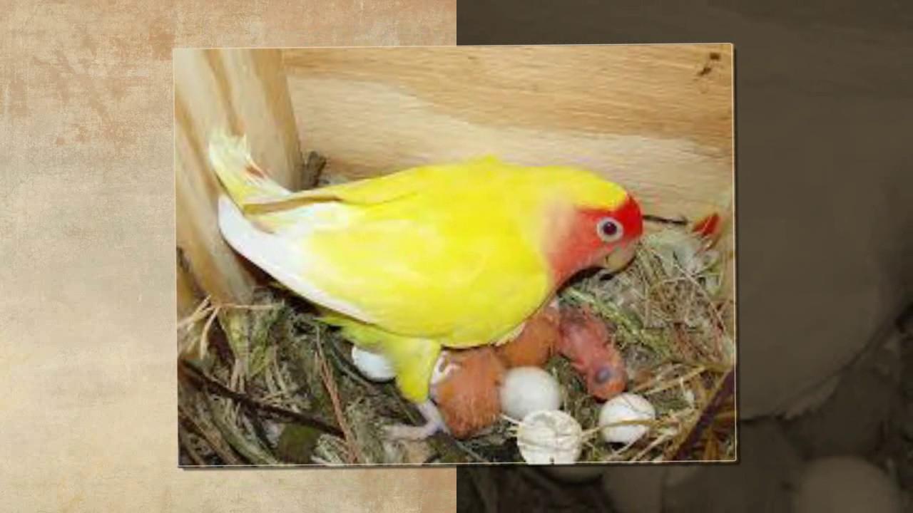 اجمل طيور الحب الهولندي الجزء 16 The Most Beautiful Dutch Love Birds عالم الحيوان Youtube