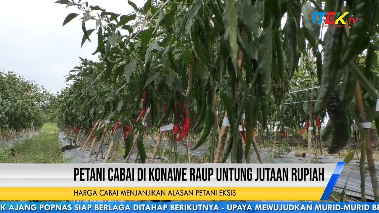 Petani Cabai di Konawe Raup Untung Jutaan Rupiah