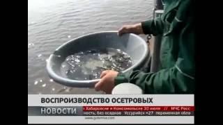 Глава Росрыболовства посетил Анюйский осетровый завод  Репортаж Губерния ТВ6  GuberniaTV