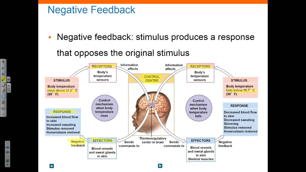 Chapter 1 Part 2 Homeostasis Negative and Positive Feedback - YouTube