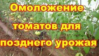 Что бы дольше собирать урожай  надо омолодить томаты