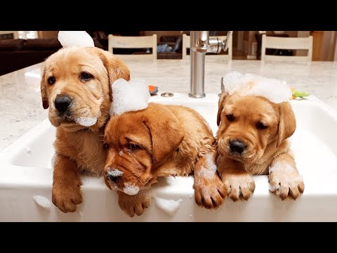 LABRADOR PUPPIES FIRST BATH EVER!!