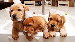LABRADOR PUPPIES TAKE BATHS!!!
