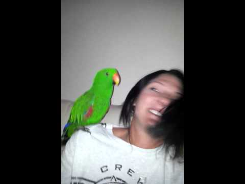 Oski my eclectus parrot saying crazy and dancing