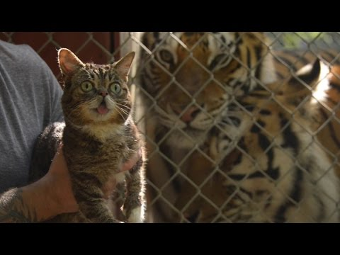 Cats Save Tigers – Starring Lil BUB and friends - GreenpeaceVideo  - FOLHV3hdDPw -