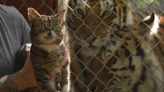 Cats Save Tigers – Starring Lil BUB and friends