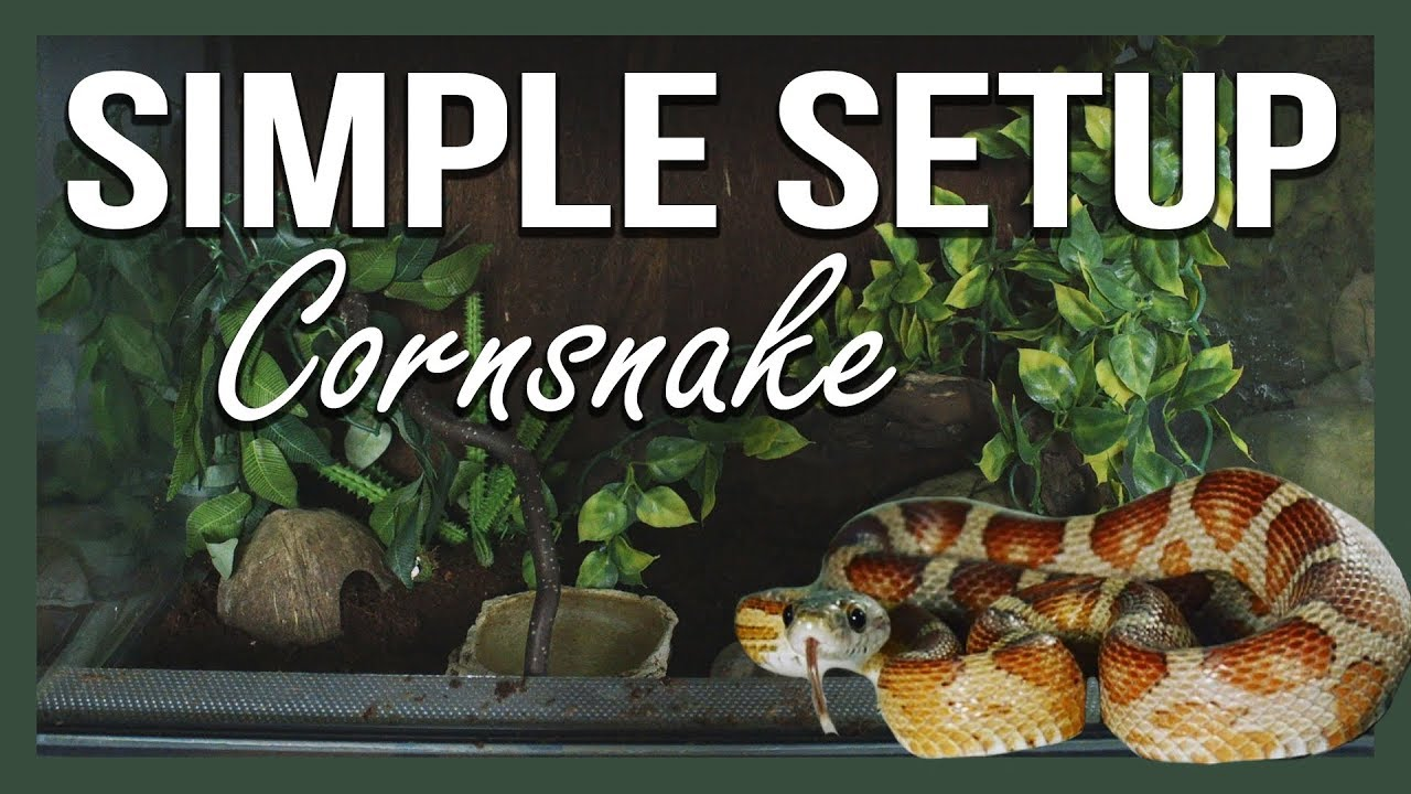 SIMPLE SETUP: CORNSNAKE
