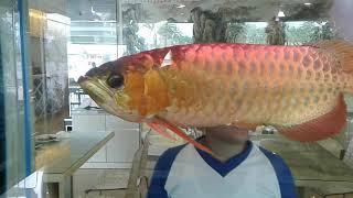 #145 Ciri-Ciri Ikan Arwana Super Red yang Bagus